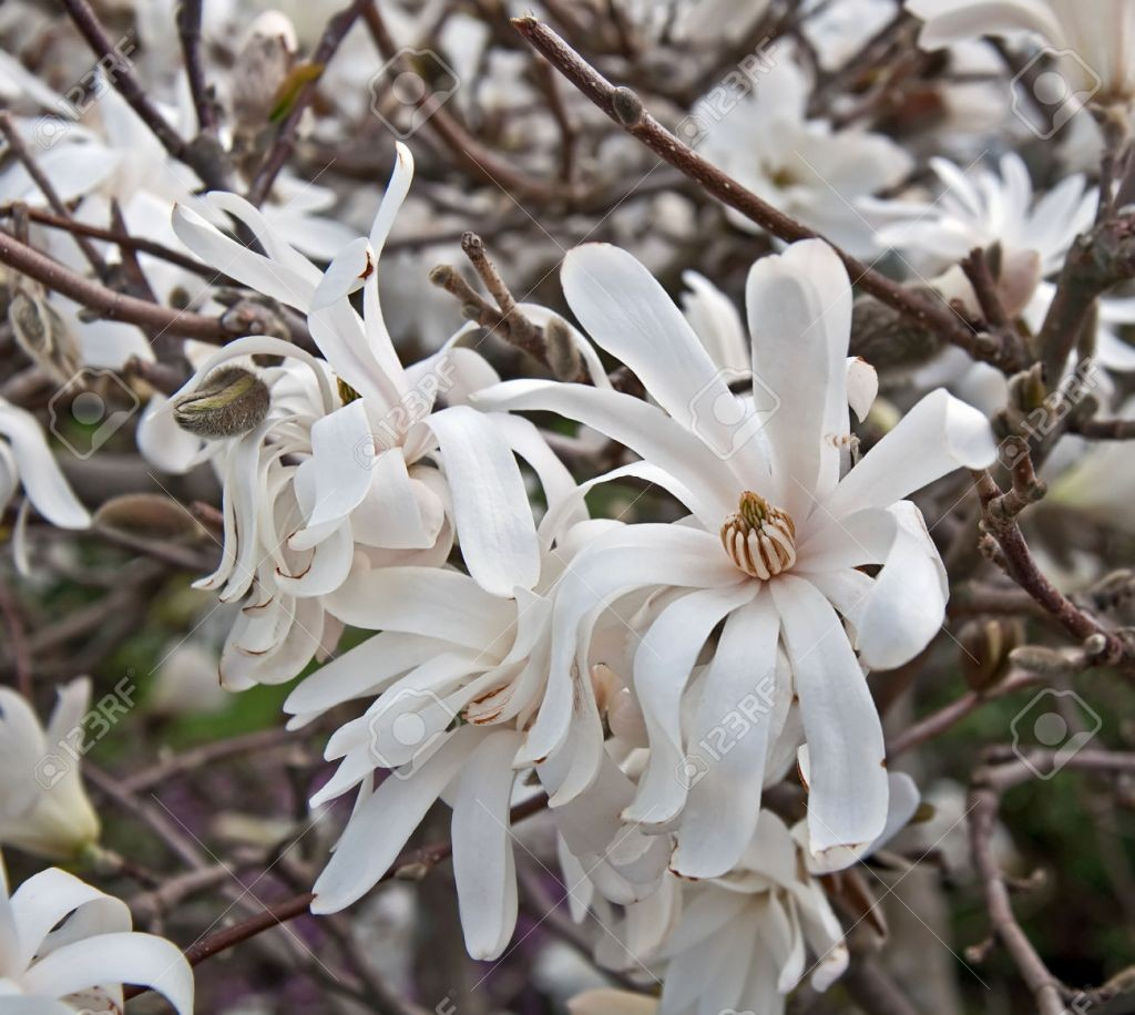 28069104-This-is-a-white-star-magnolia-tree-in-bloom-with-its-soft-white-droopy-petals-and-the-dark-wood-of-t-Stock-Photo